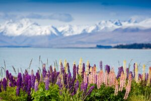 17926004 – majestic mountain lake with llupins blooming
